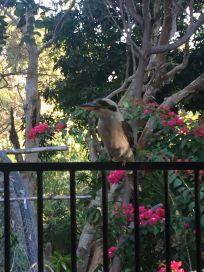 hungry kookaburra
