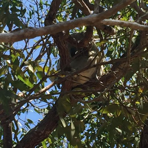koala, sleeping